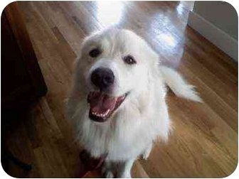 Great Pyrenees Dog for adoption in kennebunkport, Maine - Buddy - PENDING!