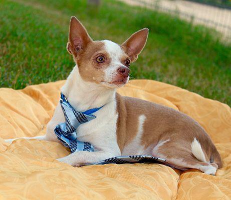 Roanoke Va Chihuahua Meet Butterscotch A Pet For Adoption