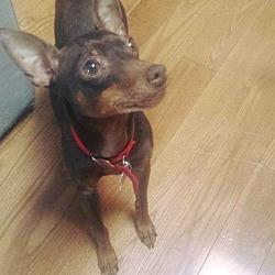 Laval Qc Miniature Pinscher Meet Moka A Pet For Adoption