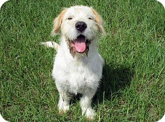 Basset Griffon Vendeen Mix Puppy for adoption in Portsmouth, New Hampshire - Dudley