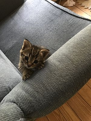 Kingston, MA - Bengal  Meet Bambino a Pet for Adoption