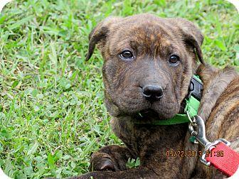Salem Nh Boxer Meet Puppy Cinnamon Toast A Pet For Adoption