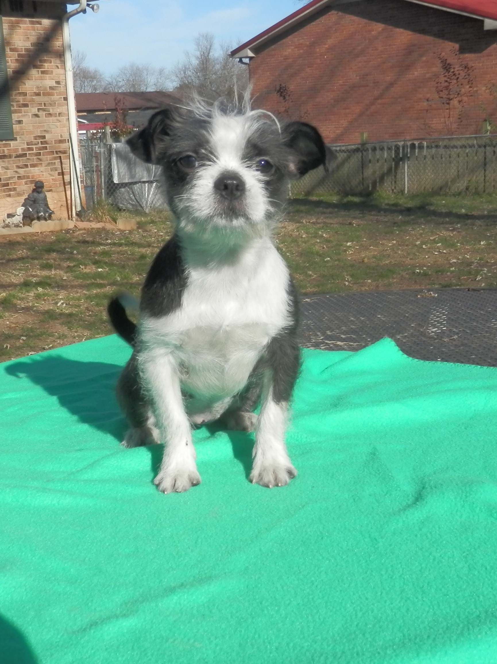 Clarksville, TN - Boston Terrier. Meet Gracie-Marie a Dog for Adoption.
