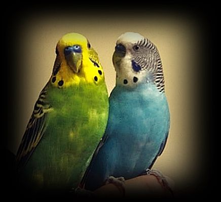 Tampa, FL - Budgie  Meet Blue and Jay a Pet for Adoption