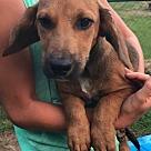 Adopt A Pet :: Pup Rose