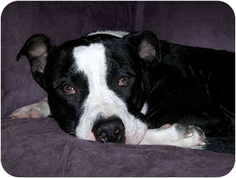 Vancouver Wa American Pit Bull Terrier Meet Elsie A Pet For