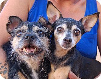 Chihuahua Mix Dog for adoption in Las Vegas, Nevada - Cinnamon