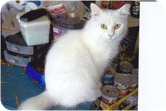 Hamburg Ny Turkish Angora Meet Sugar A Pet For Adoption