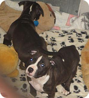 Elizabeth City Nc American Pit Bull Terrier Meet Greg Marcia