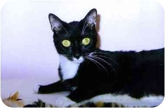 Domestic Shorthair Cat for adoption in Medway, Massachusetts - Dice