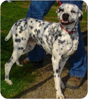 Bakersfield Ca Dalmatian Meet Haley A Pet For Adoption
