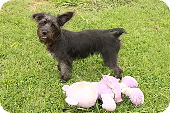 Terrier (Unknown Type, Small) Mix Puppy for adoption in Salem, New Hampshire - Trixie