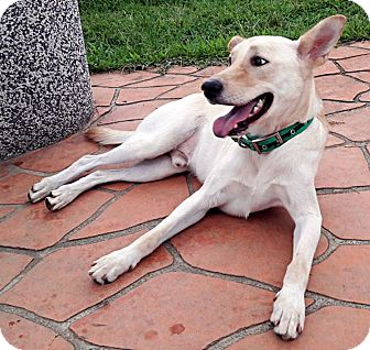Labrador Retriever/Shepherd (Unknown Type) Mix Dog for adoption in menlo park, California - Sonny