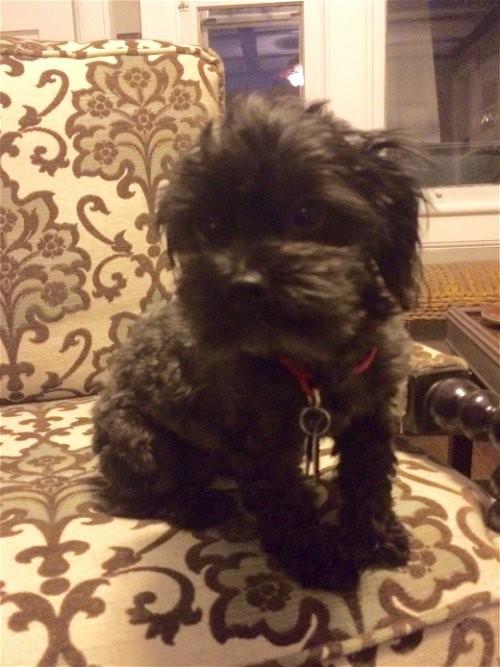 Brunswick Ga Toy Poodle Meet Skeeteradopted A Pet For