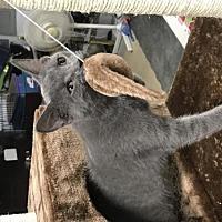 Adopt A Pet :: Feline Derek (3) - Remus, MI