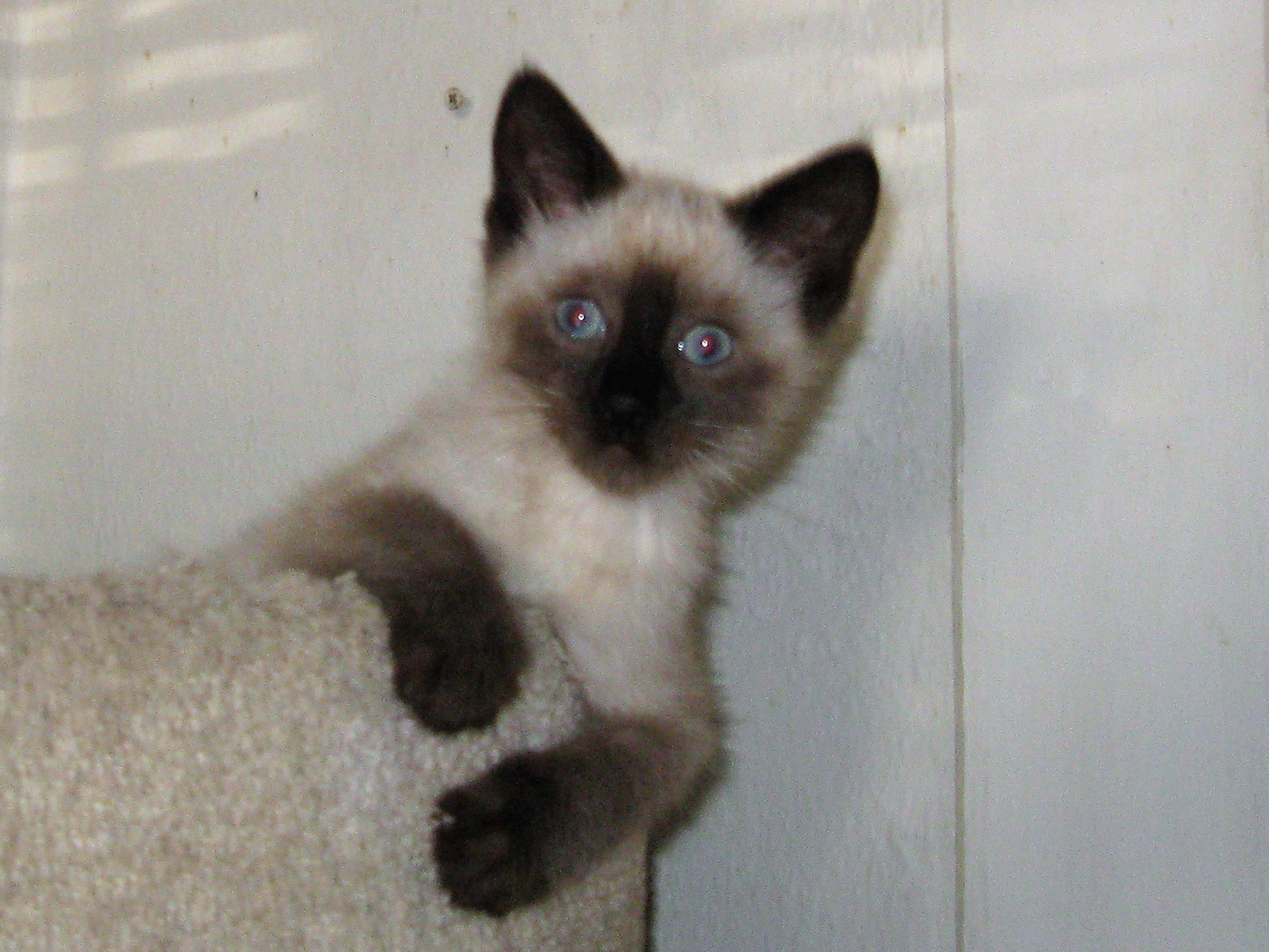 San Diego, CA - Siamese. Meet GRINGO a Cat for Adoption.