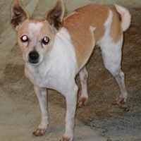 Adopt A Pet :: Midas - Mtn Grove, MO