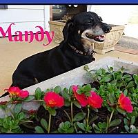 Adopt A Pet :: Miss Mandy - Green Cove Springs, FL