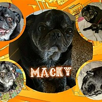 Adopt A Pet :: Macky - Walled Lake, MI