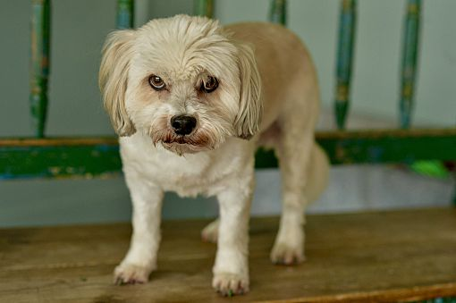 San Antonio, TX - Shih Tzu  Meet Sookie a Pet for Adoption