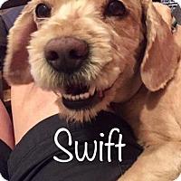 Adopt A Pet :: Swift - Los Angeles, CA