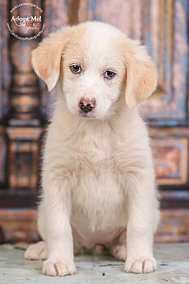 Cincinnati Oh Golden Retriever Meet Kinsey A Pet For Adoption