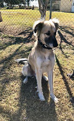 Lubbock, TX - Saluki  Meet Cooper a Pet for Adoption