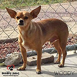 Dachshund Puppies for Sale in Iowa - Adoptapet com