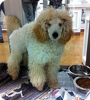 Austin Tx Poodle Miniature Meet Puffball A Pet For