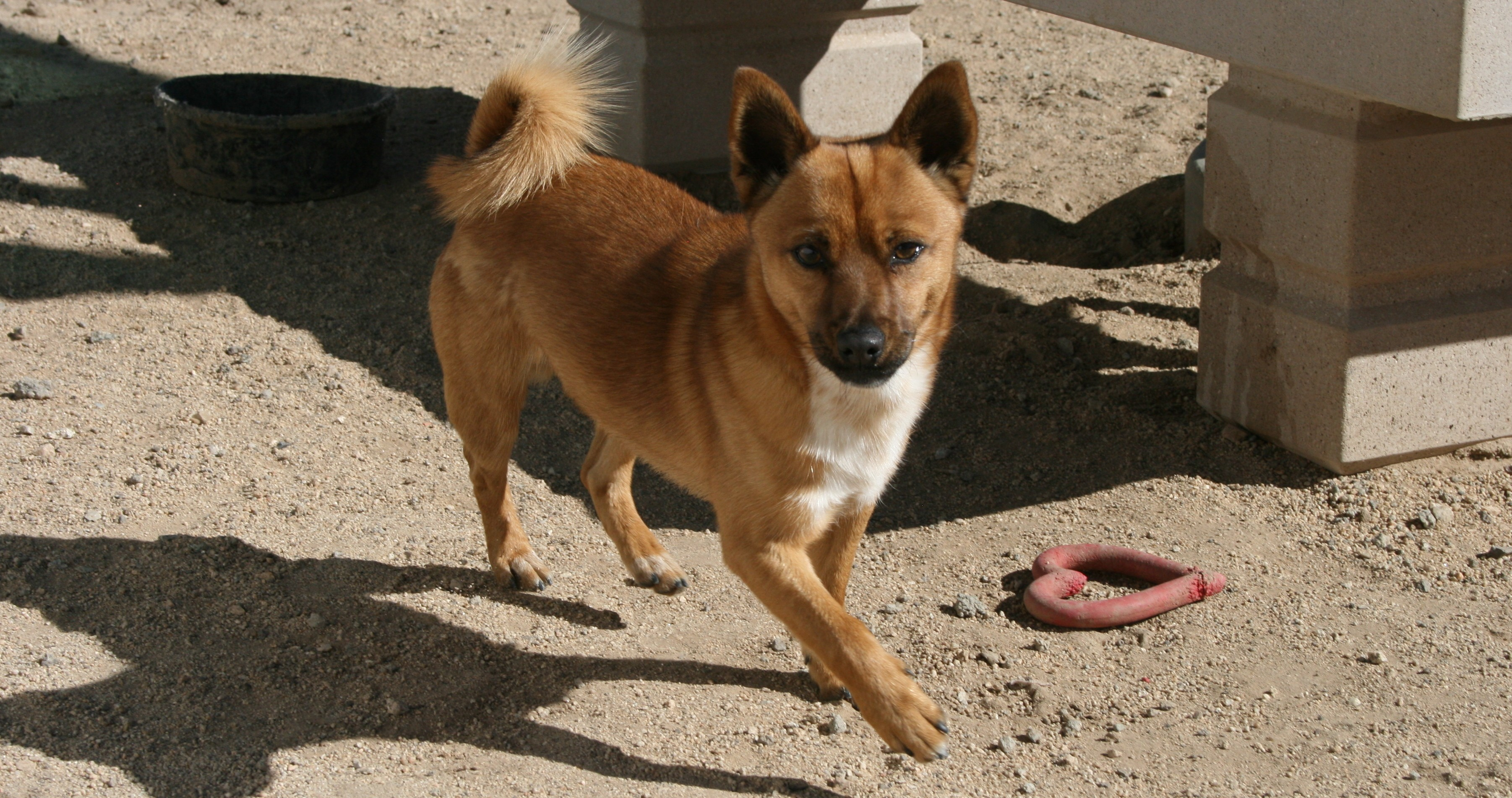 Husky puppies for sale yucca valley - Yucca Valley Ca Chihuahua Meet Fox Lukas Wilder A Dog For Adoption