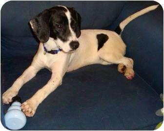 Angier, NC - Beagle  Meet Precious Pearl a Pet for Adoption