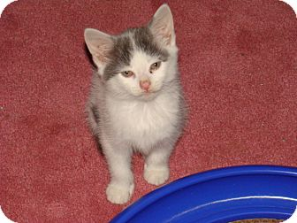 American Shorthair Kitten for adoption in Spotsylvania, Virginia - Brooke