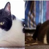 Adopt A Pet :: Smudge And Cinder - Incline Village, NV
