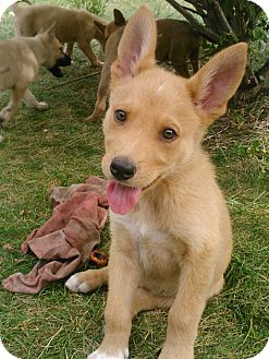 Carolina Dog Adoption
