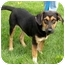 Photo 3 - Shepherd (Unknown Type)/Beagle Mix Puppy for adoption in Plainfield, Illinois - Baxter