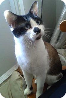Domestic Shorthair Cat for adoption in Toronto, Ontario - Belvedere