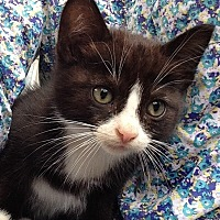 Domestic Shorthair Kitten for adoption in Houston, Texas - Tipper