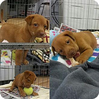 Corpus Christi Tx Labrador Retriever Meet J J A Pet For Adoption