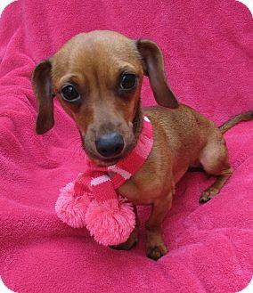 Irvine Ca Dachshund Meet Shotzy 6 Lbs Mini A Pet For Adoption