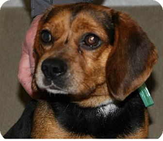 Beagle/Pug Mix Dog for adoption in Avon, New York - Howdy