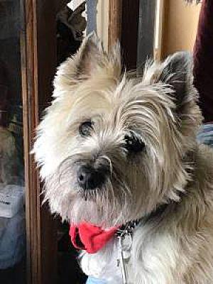 Ottawa On Cairn Terrier Meet Samson Aka Sammy A Pet For