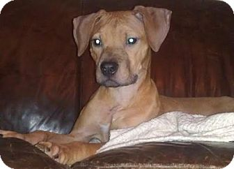 Dog Adoption Az Pit Bull