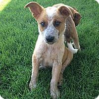 Adopt A Pet :: Hami - Arlington, TX