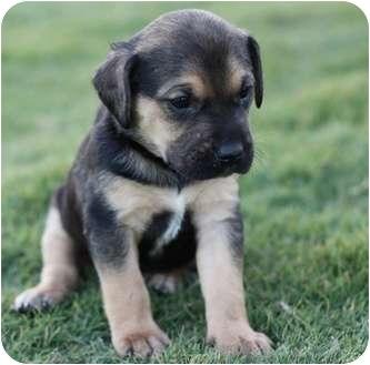 Austin Tx German Shepherd Dog Meet Princess A Pet For Adoption