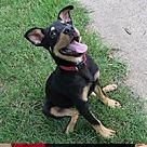 Adopt A Pet :: Luke the Rottie