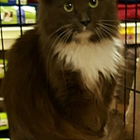 Adopt A Pet :: Athena - Lyons, IL
