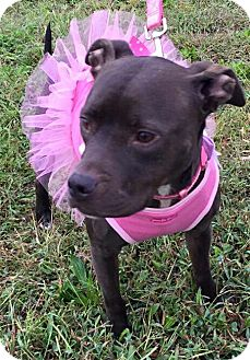 American Staffordshire Terrier Mix Dog for adoption in nashville, Tennessee - Eartha
