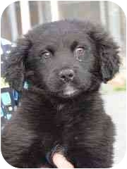 Flat-Coated Retriever Mix Puppy for adoption in Baltimore, Maryland - Adair