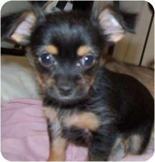 Detroit Mi Yorkie Yorkshire Terrier Meet Riley A Pet For Adoption