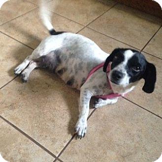 Pennigton Nj Havanese Meet Lupita A Pet For Adoption